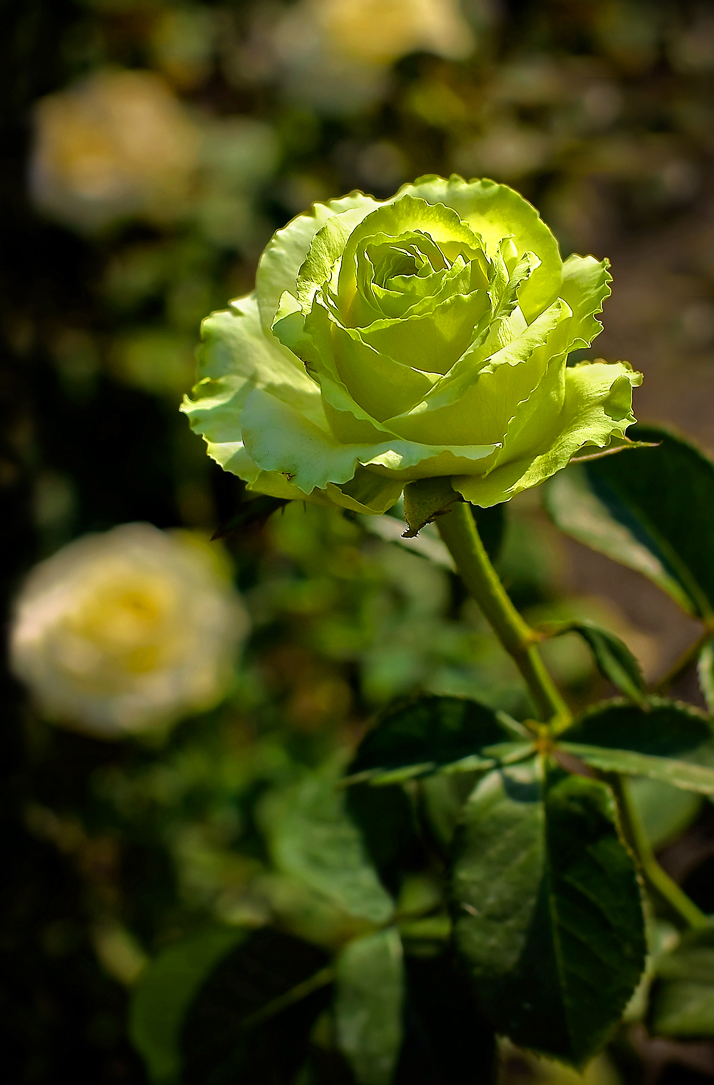 Бело розовые розы розовые белые розы букет из белых и