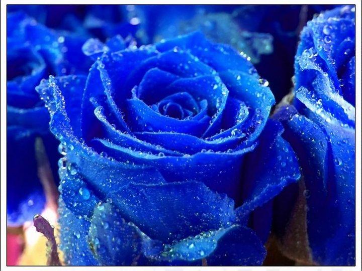 Синие розы картинки - f